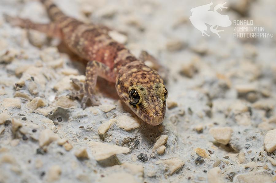 Mediterranean House Gecko (Hemidactylus turcicus)