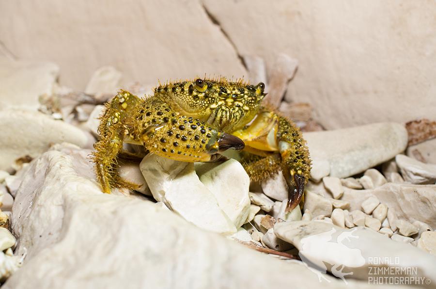 Gele krab (Eriphia verrucosa)-1