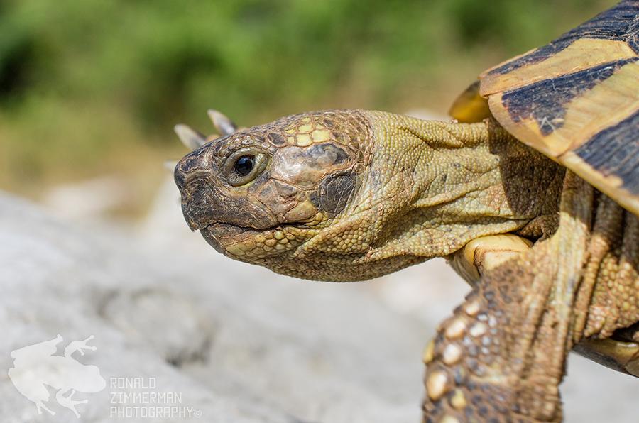 Hermann's tortoise (Testudo hermanni)