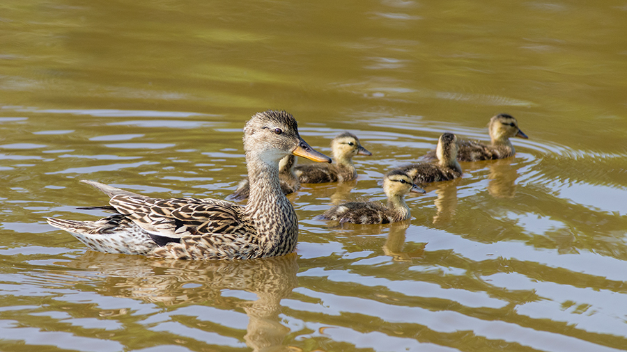 female Anas crecca (Dutch: 'Wintertaling') with ducklings