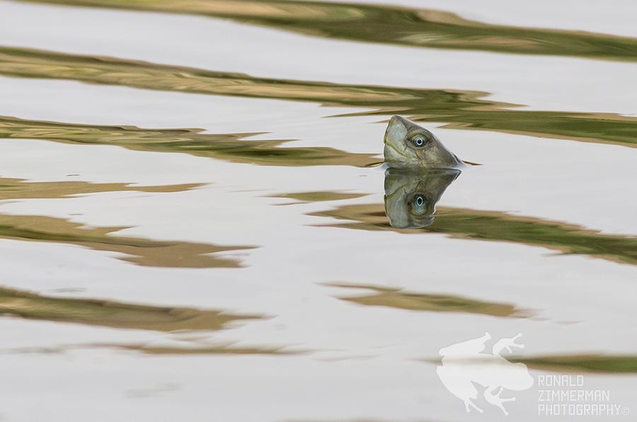 Spanish pond turtle or Mediterranean turtle (Mauremys leprosa)