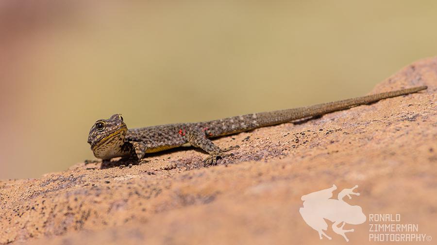 High Atlas Moroccan Day Gecko (Quedenfeldtia trachyblepharus)