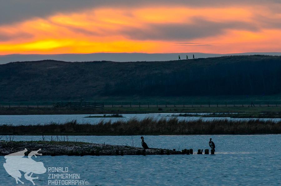 Great Cormorants Sundown