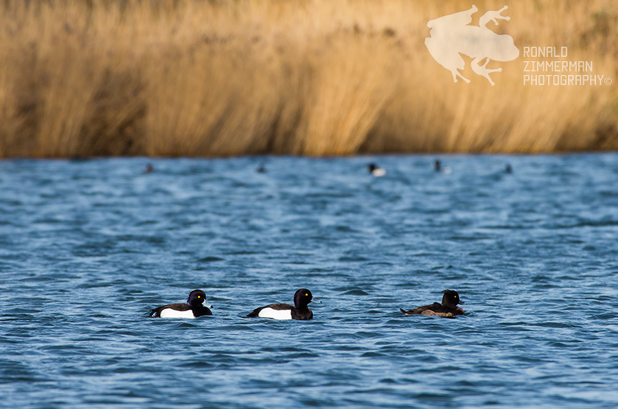 The Tufted Duck (Aythya fuligula)
