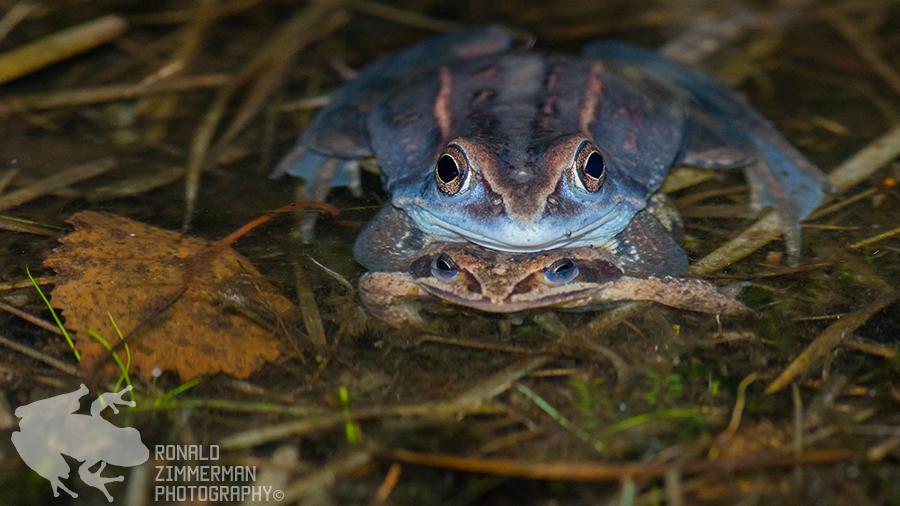 Moor Frog (Rana arvalis) in amplexus