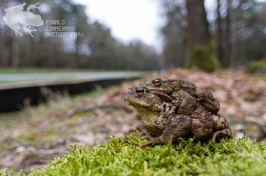 Common toad (Bufo bufo) in amplexus