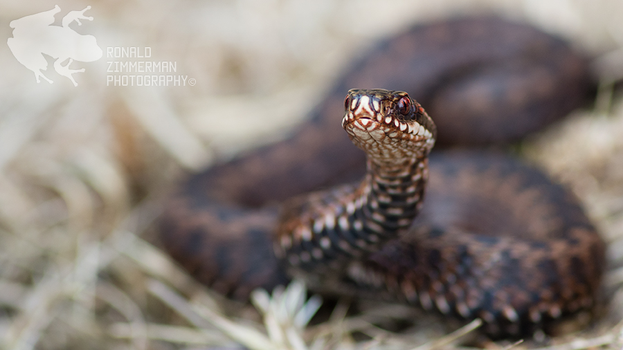 Subadult common adder (Vipera berus) ♀