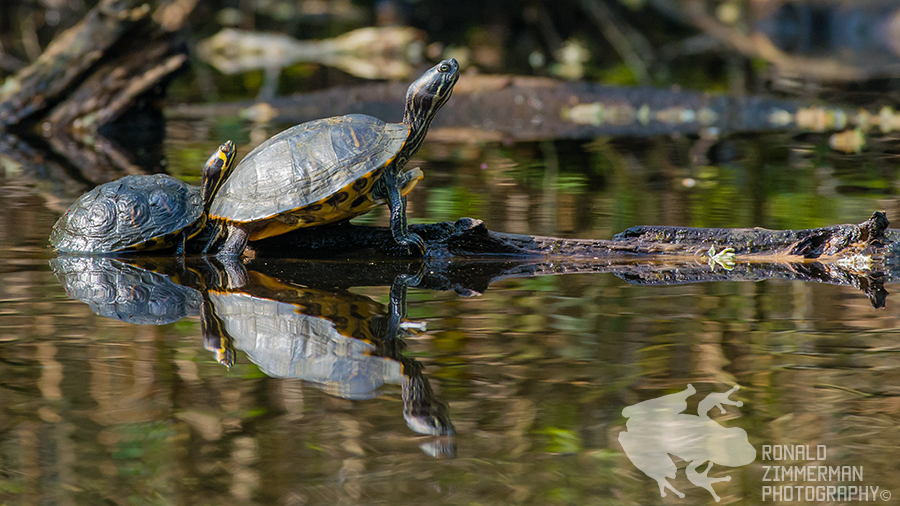 From left to right a yellow-bellied slider (Trachemys scripta scripta) and a cumberland slider (Trachemys scripta troostii)