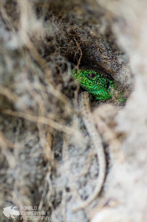 Sand lizard / Zandhagedis (Lacerta Agilis)