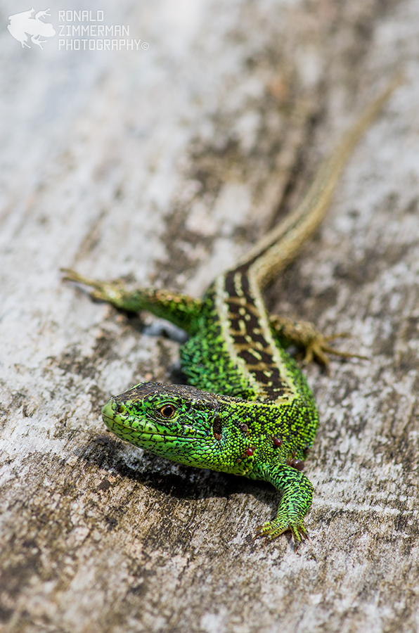 Sand lizard / Zandhagedis (Lacerta Agilis) ♂