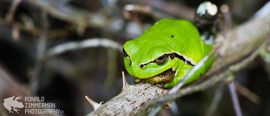 European tree frog / Europese boomkikker (Hyla arborea)