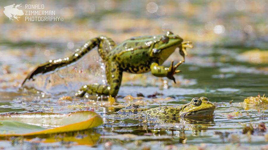 Pelophylax sp. and EN: Edible Frog NL:  Middelste groene kikker of bastaardkikker (Pelophylax kl. esculentus)