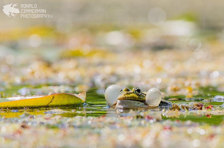 EN: Edible Frog NL:  Middelste groene kikker of bastaardkikker (Pelophylax kl. esculentus)