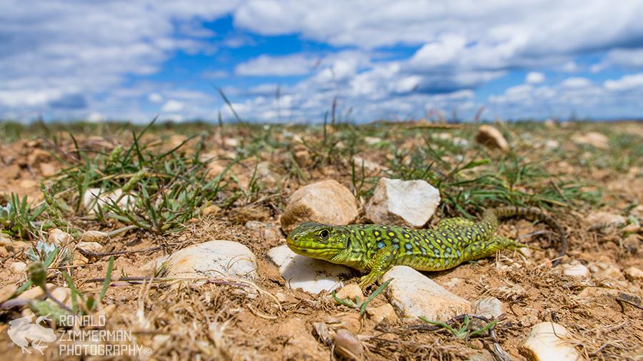 Ocellated lizard / parelhagedis (Timon lepidus)