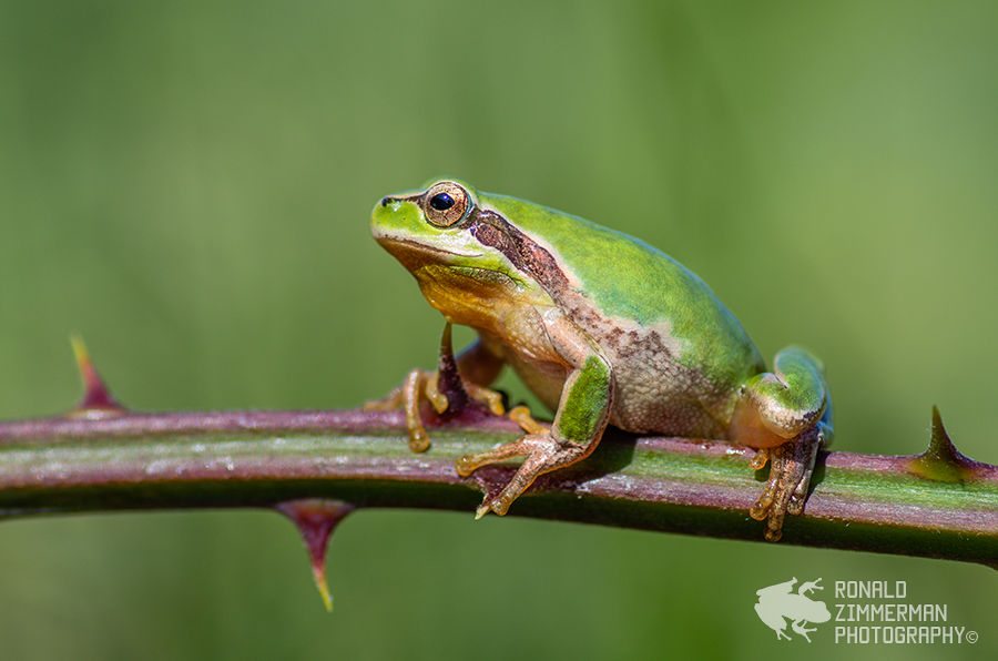 Stripeless Tree frog / mediterrane boomkikker (Hyla meridionalis)