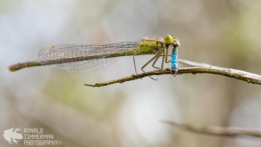 Blue-tailed Damselfly / Lantaarntje (Inschnura elegans)