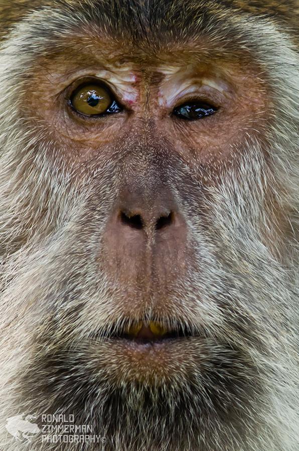 Crab-eating Macaque / Long-tailed Macaque (Macaca fascicularis)-10