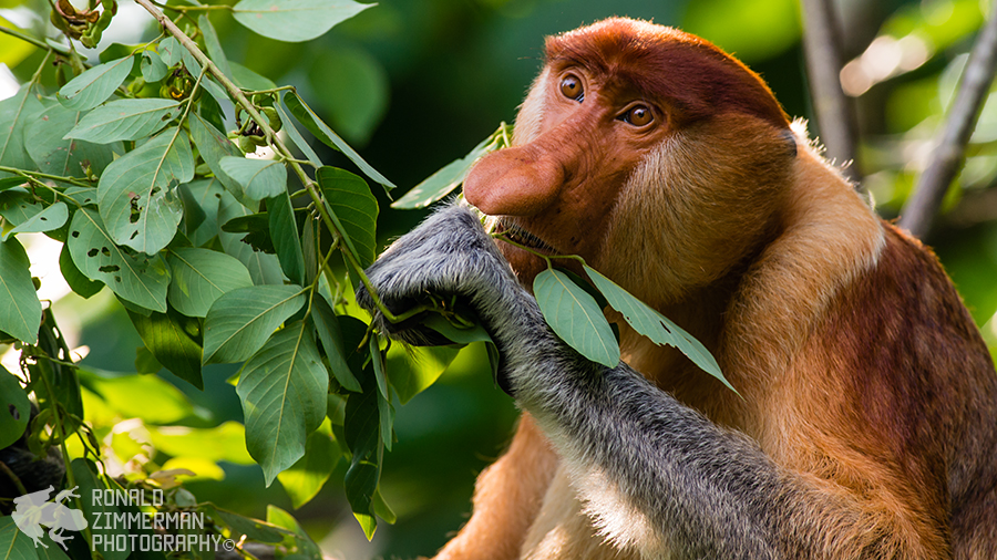 Proboscis Monkey (Nasalis larvatus)