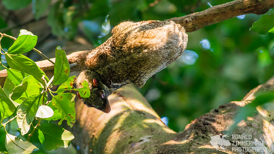 Sunda flying lemur (Galeopterus variegatus)