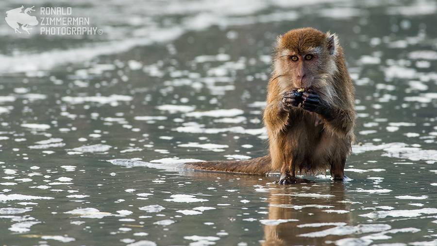 Crab-eating Macaque / Long-tailed Macaque (Macaca fascicularis)