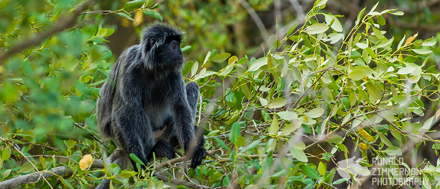 Silvered Leaf Monkey / Silvered Langur (Trachypithecus cristatus)