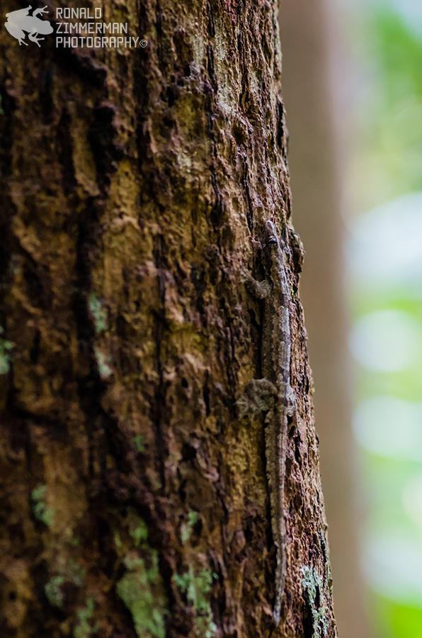 Frilly House Gecko (Cosymbotus craspedotus)