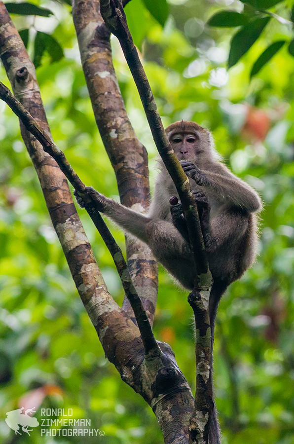 Crab-eating Macaques / Long-tailed Macaques (Macaca fascicularis)