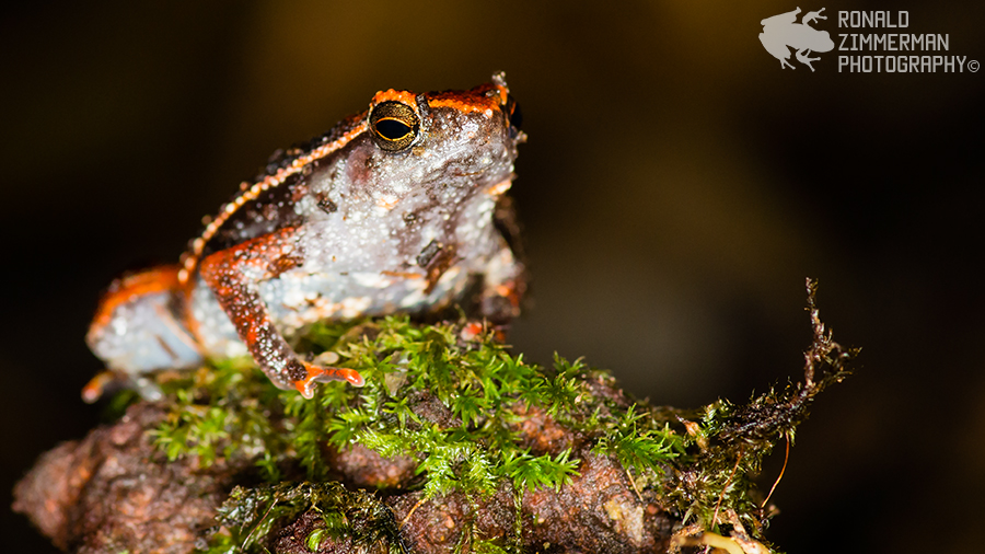 Intermediate Sticky Frog (Kalophrynus intermedius)