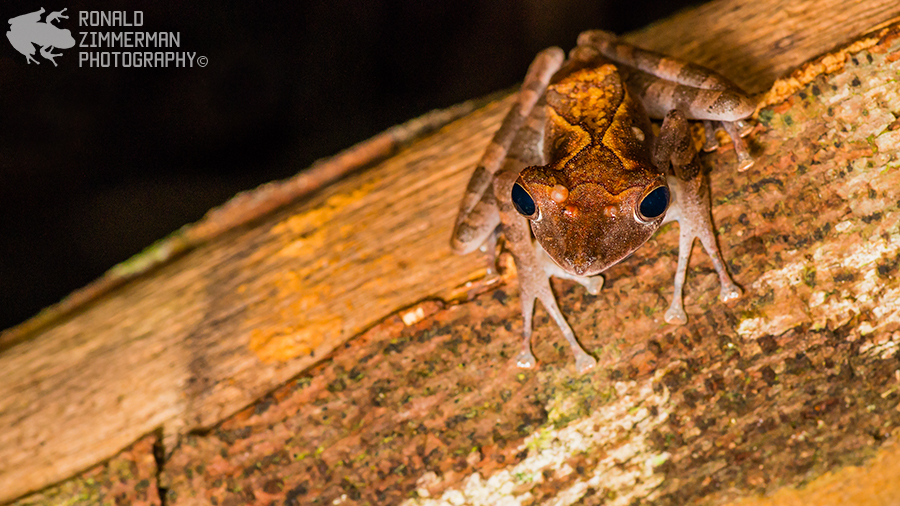 Collett's Tree Frog (Polypedates colleti)