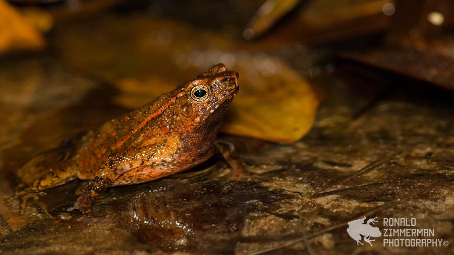 Swamp Toad (Ingerophrynus quadriporcatus)