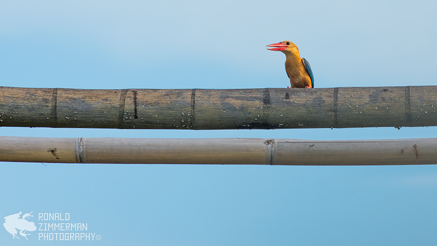 Stork-billed Kingfisher (Pelargopsis capensis)