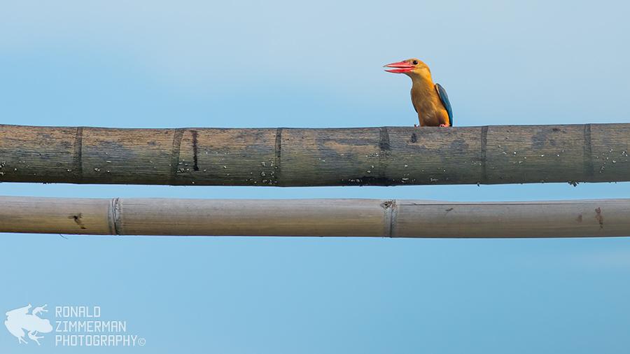 Stork-billed Kingfisher (Pelargopsis capensis)