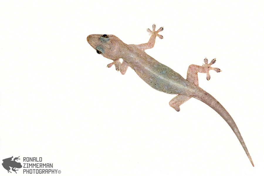 Asian House Gecko (Hemidactylus frenatus)