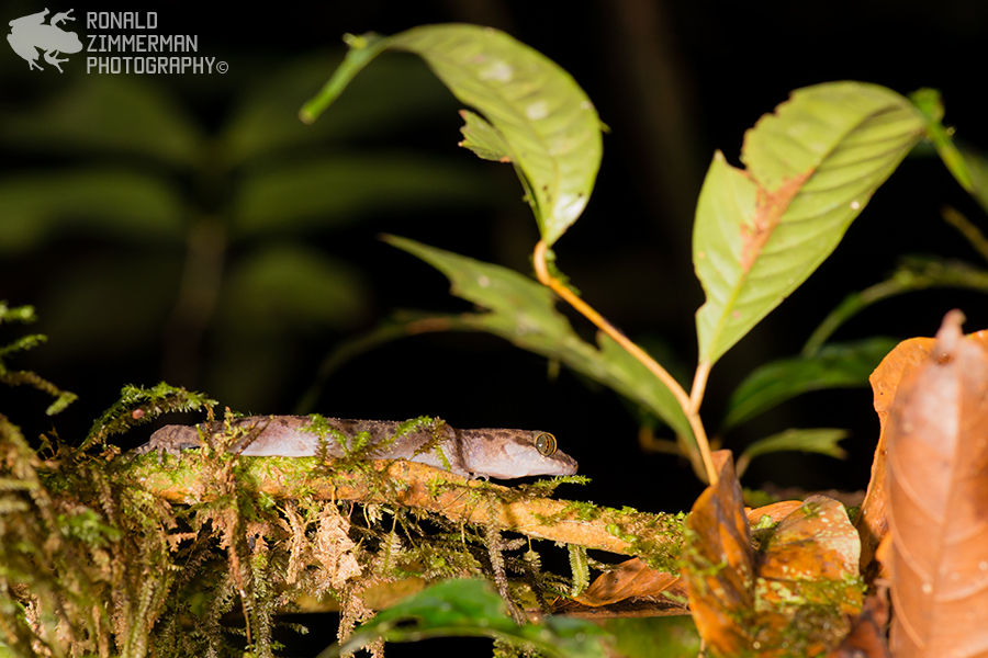 Groove Bent-Toed Gecko (Cyrtodactylus pubisculus)