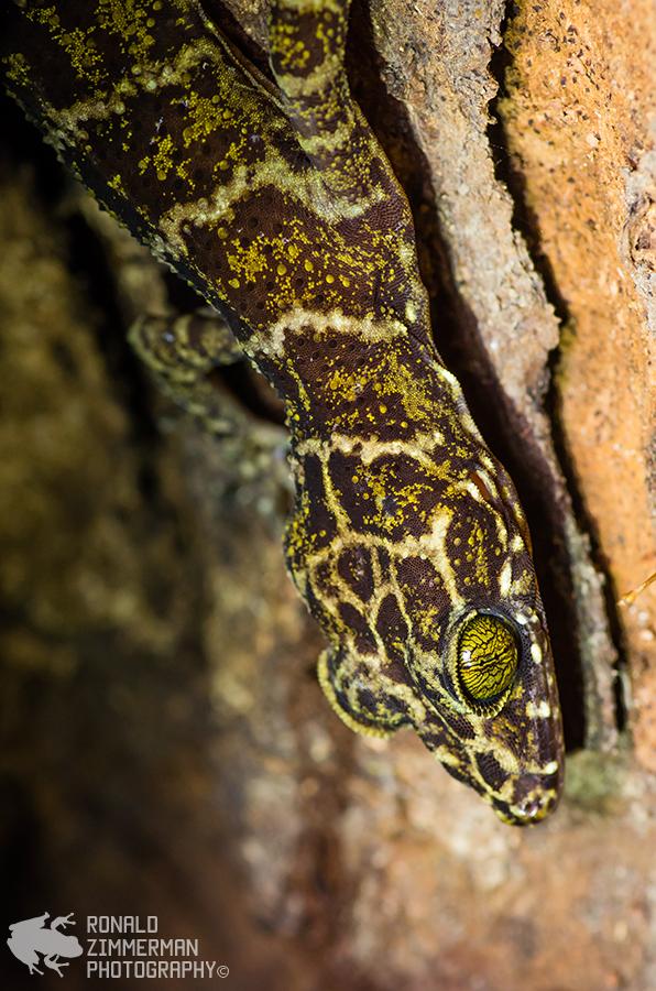 Malayan Bent-toed Gecko (Cyrtodactylus malayanus)