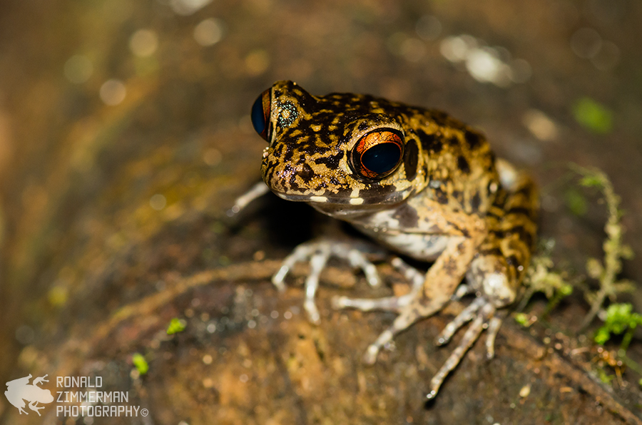 Rough-sided frog (Rana glandulosa)