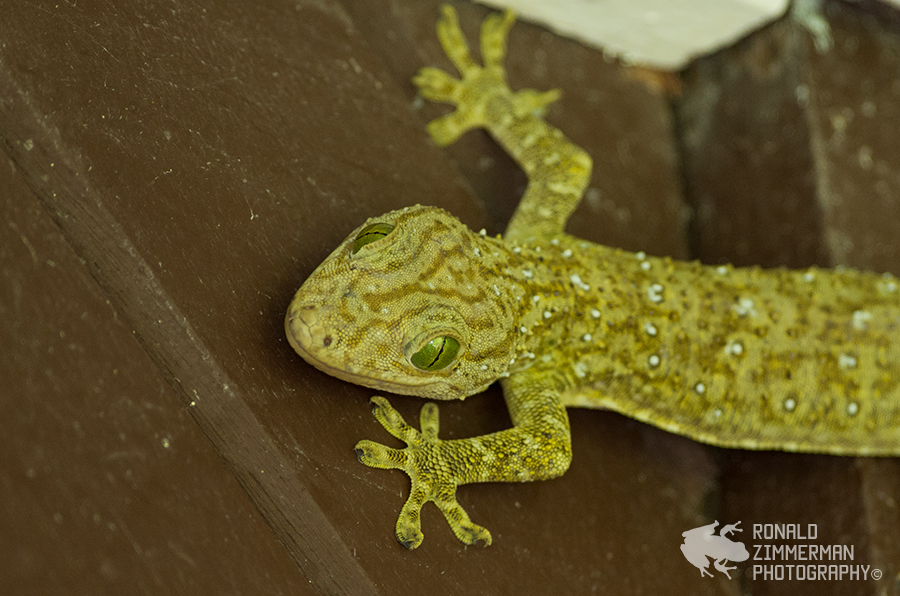 Smith's Giant Gecko (Gekko smithii)