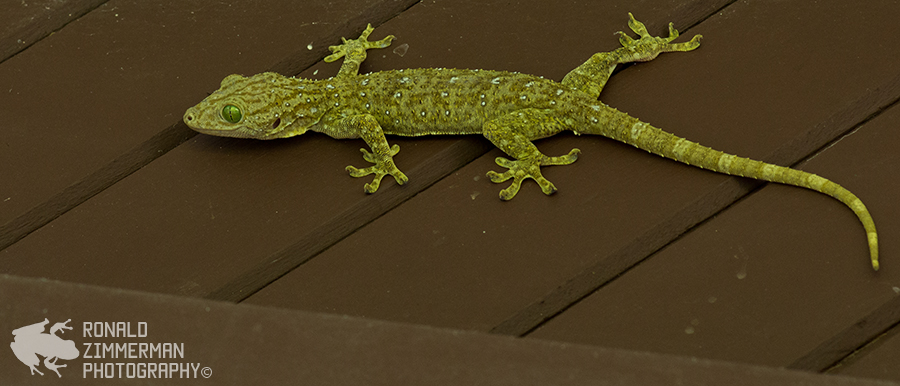 Smith's Giant Gecko (Gekko smithii)