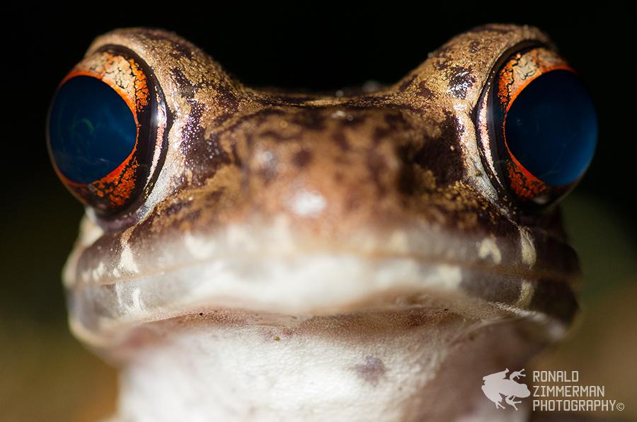Rough-sided frog (Rana glandulosa)