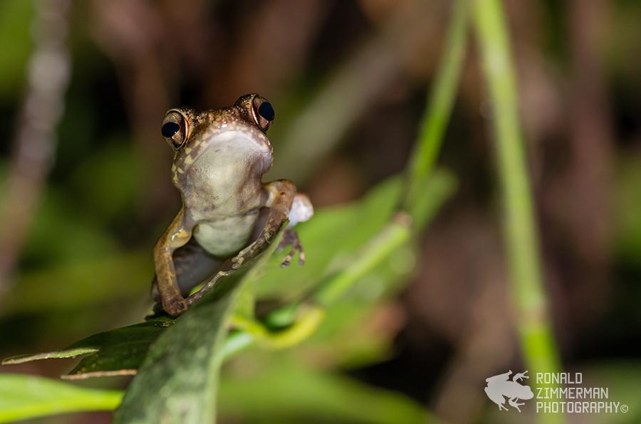 Brown marsh frog (Rana baramica)