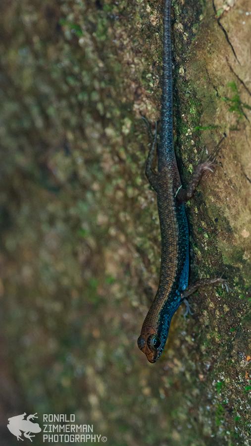 Blue-throated Litter Skink (Sphenomorphus cyanolaemus)