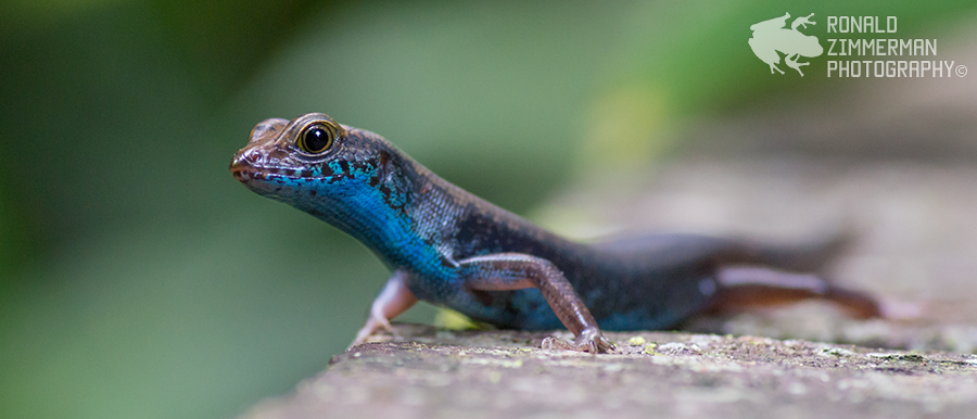 Blue-throated Litter Skink (Sphenomorphus cyanolaemus)