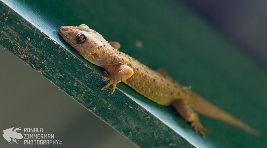 Spotted House Gecko (Gekko monarchus)