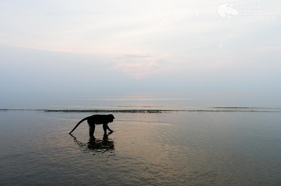 Crab-eating Macaque / Long-tailed Macaque (Macaca fascicularis)