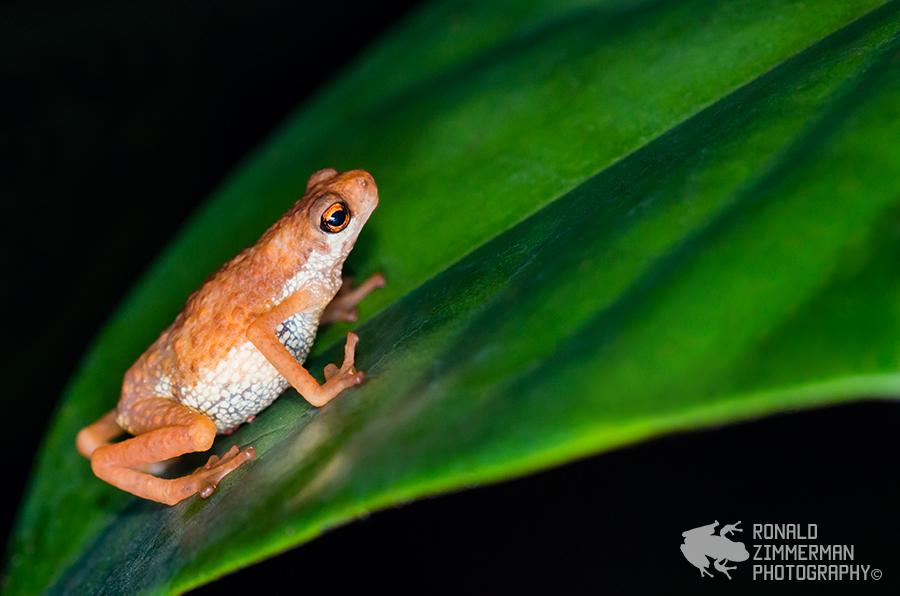 Short-legged Dwarf Toad (Pelophryne signata)