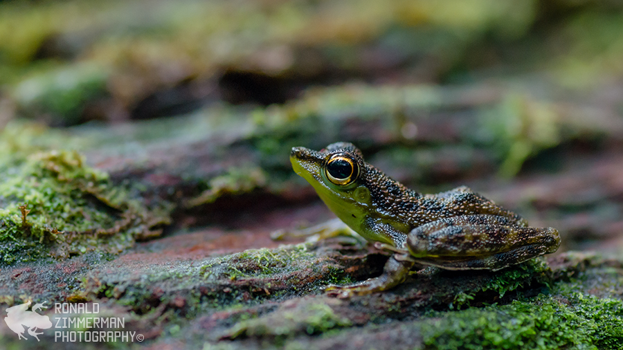Black-spotted Rock Frog (Staurois guttatus)