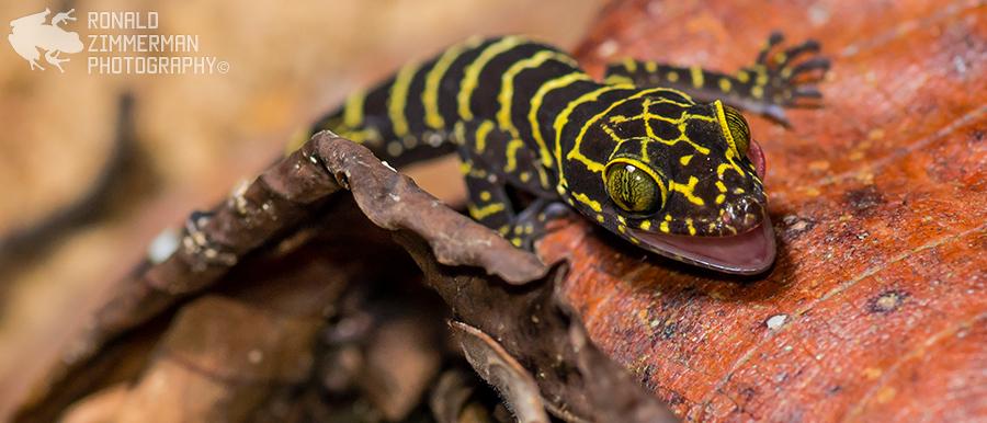 Giant Bent-toed Gecko (Cyrtodactylus consobrinus)
