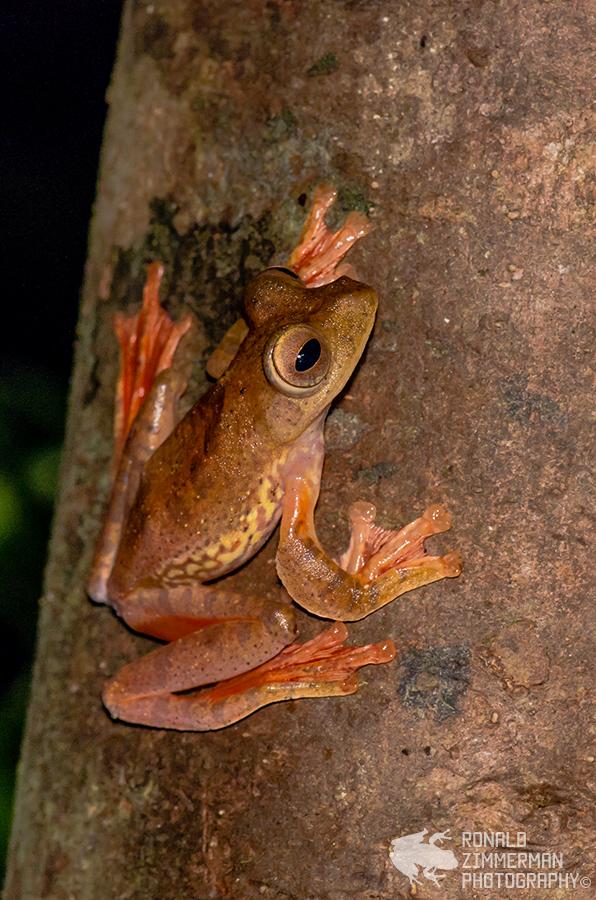 Harlequin Tree Frog (Rhacophorus pardalis)