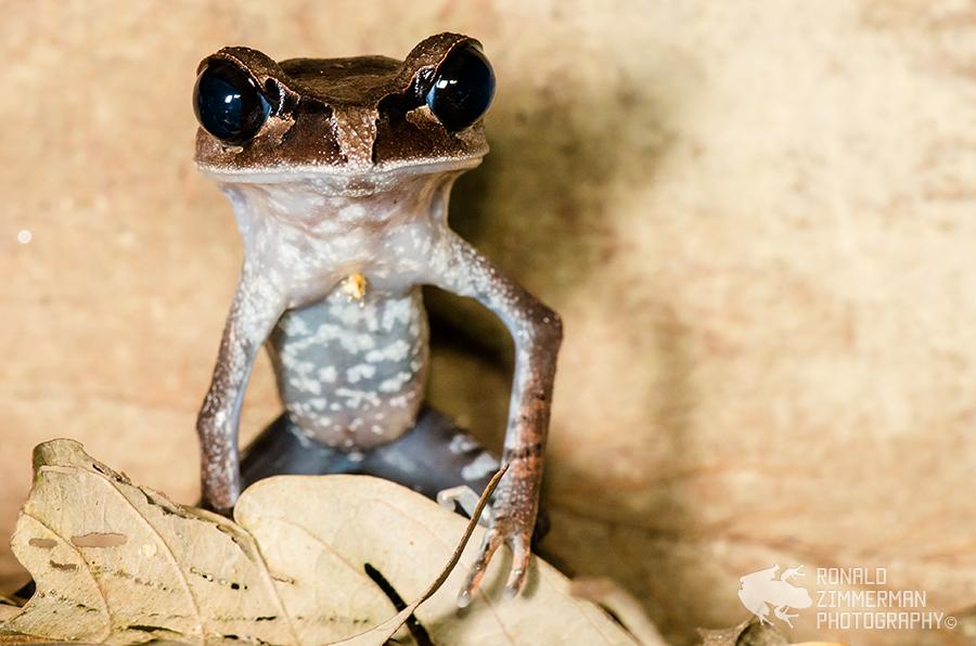 Lowland Litter Frog (Leptobrachium abbotti)