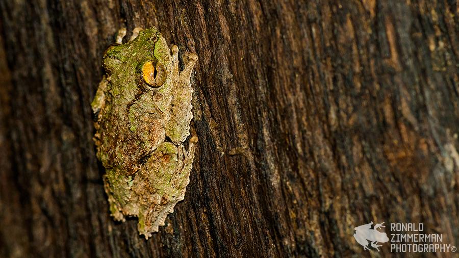 Frilled Tree Frog (Rhacophorus appendiculatus)